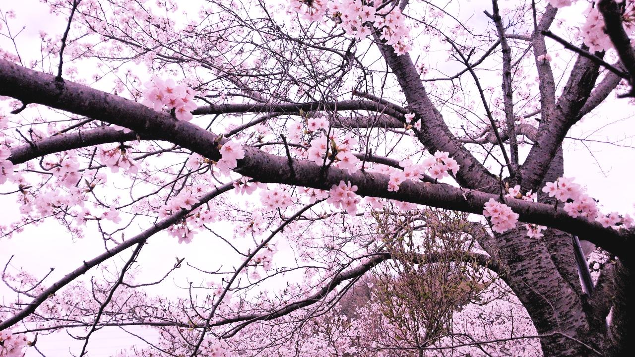 まもなく桜の季節。「さくら」を題した曲が沢山出てくるんだろうなぁ~