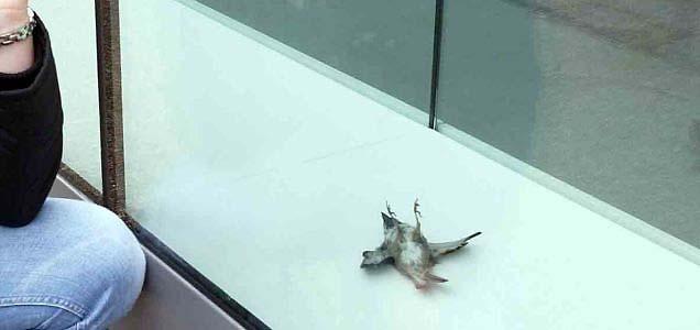 鳥に優しいガラスが開発されました。