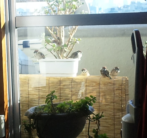 家のベランダはスズメの休憩場